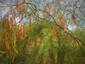 Mesquite tree full of pods